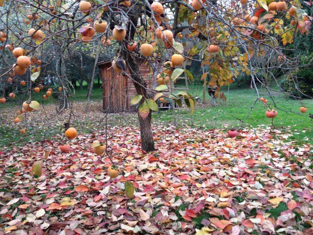 Kakibaum im Herbst vor Studio