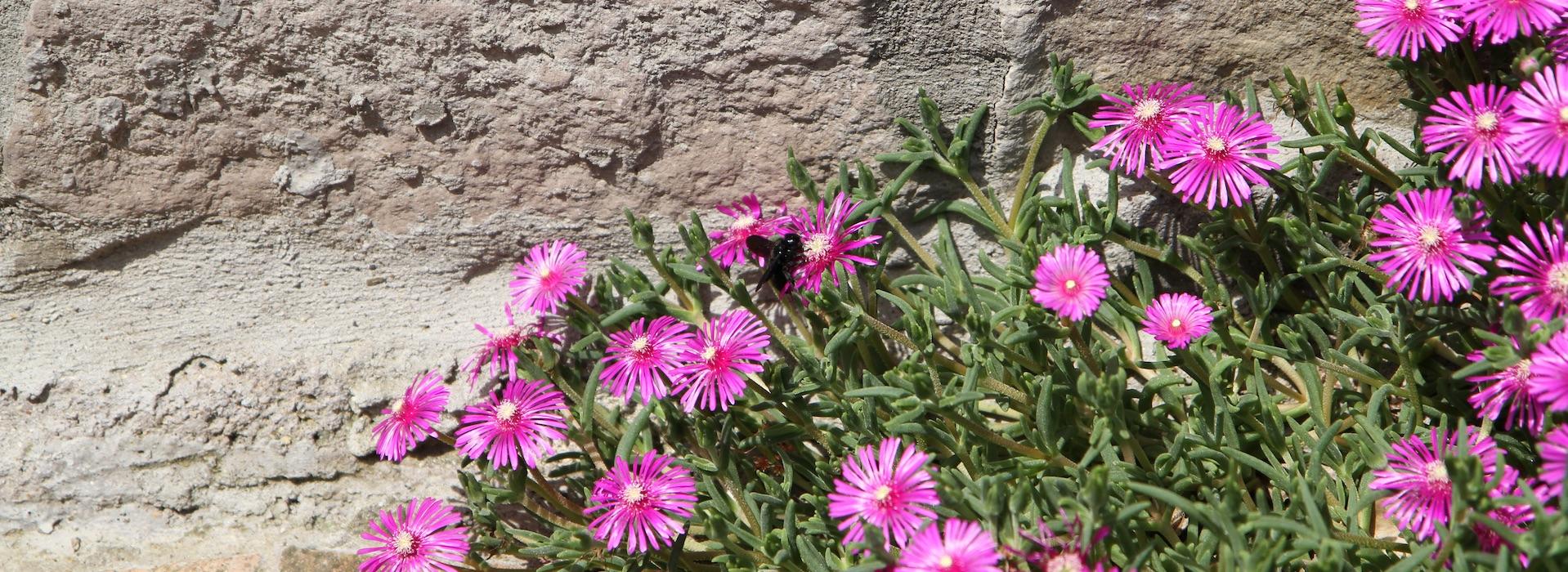 Fiorellini nel giardino del Podere Porcino a Civitella d'Agliano